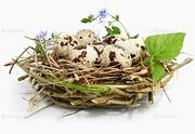 Перепела,  перепелиные яйца,  тушки,  клетки...