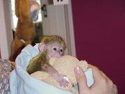 Предлагая милые и очаровательные обезьян капуцинов.