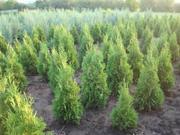 Растения для ландшафтного дизайна и озеленения.