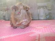 Перуанские морскихе свинки