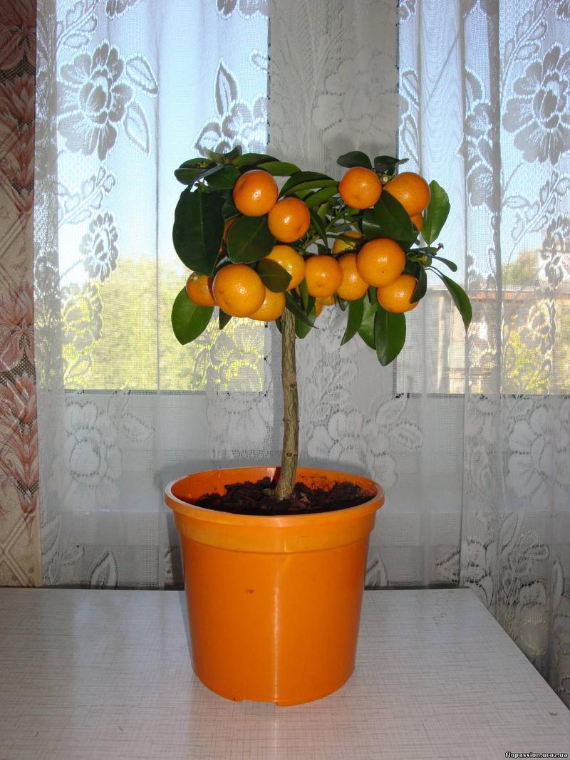 Комнатные цитрусовые