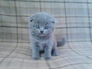 Вислоухий котенок скоттиш-фолд голубой