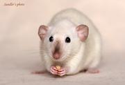 Крысы дамбо-сиамы