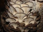 мицелий вешенки грибы грибные блоки мешки для набивки выращивание