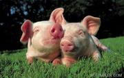куплю КРС и свиней живой вес