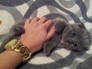 Милые,  породистые,  вислоухие котята (Скоттиш-фолд)
