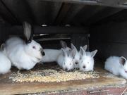 Продам кроликов Порода Калифорнийская Харьков
