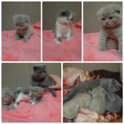 продажа котят шотландской вислоухой породы в Харькове