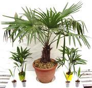 Продаются саженцы пальмы Трахикарпус.