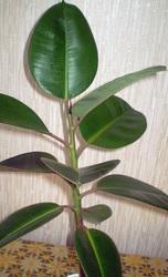 Продам фикус каучуконосный / Ficus elastica