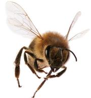 Продам 20 пчелопакетов