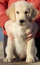 Золотистого ретривера щенки