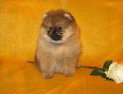 Померанец - веселая,  жизнерадостная маленькая собака