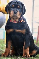 Предлагаем к продаже щенков ротвейлера