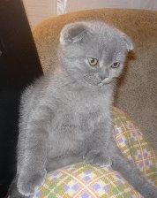 Продам голубых котят