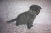 Кошки шотландские вислоухие по доступной цене!