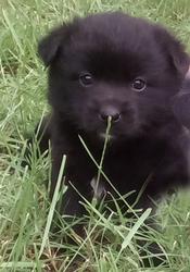 Щенок от мелкой дворовой собачки