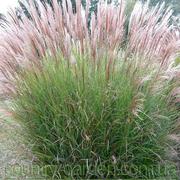 Продам Мискантус в ассортимете и много других растений.