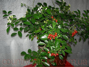 Продам комнатное растение Мурайю - траву императора.