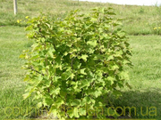 Продам саженцы Смородины и много других растний (опт от 1000 грн)