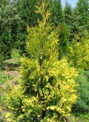 Продам саженцы Туи Западной и много других растений (опт от 1000 грн).