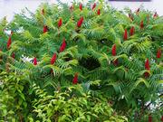Продам саженцы Уксусного дерева (Сумаха Пушистого Оленерогого)