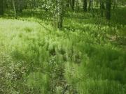 Продам Хвощ и много других растений (опт от 1000 грн).