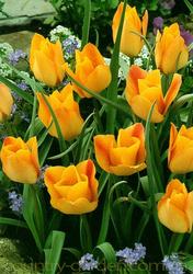 Продам луковицы Тюльпанов Ботанических и много других растений.
