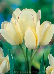 Продам луковицы Тюльпанов Мультифлора и много других растений.