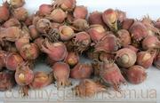 Продам саженцы Фундука и много других растений (опт от 1000 грн).