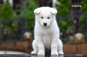 Продам элитных щенков породы Аляскинский маламут белого окраса