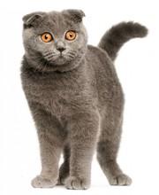 Шотландская вислоухая кошка БЕСПЛАТНО!
