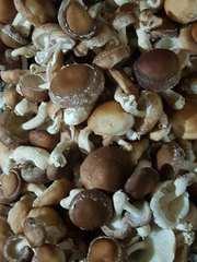 Продам грибы шиитаке Shiitake на постоянной основе