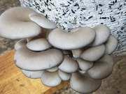 Продам грибы вешенку,   на постоянной основе
