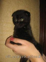 В продаже котята породы шотландская скоттиш- фолд девочки