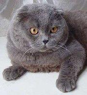 Предлагаю для вязки вислоухого кота скотиш-фолд.