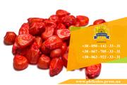 Семена кукурузы / Насіння кукурудзи Дніпровський 181 СВ від ПБФ «Колос