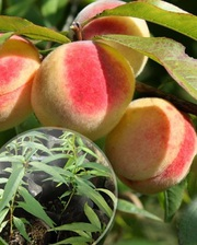 Саженцы персика морозостойкого в контейнере(закрытая корневая система)