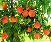 Саженцы плодовых деревьев и роз