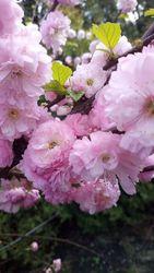 Сортовые растения,  цветы. Вся Украина. Пионы,  тюльпаны