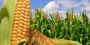 Куплю кукурудзу з будь-якою вологістю