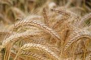 Закупаем Пшеницу 2-3 класс!