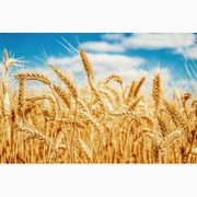 Куплю некондицию,  зерноотходы. Масличные,  бобовые,  зерновые.
