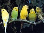 продам волнистых попугайчиков.Недорого.